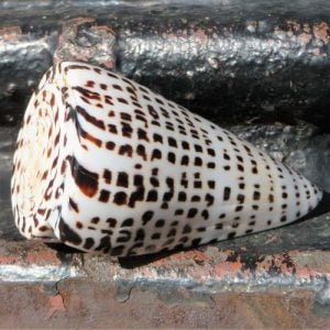 Seashell – Narrow Black White Pattern