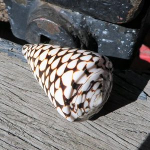 Seashell – Wide Black White Pattern