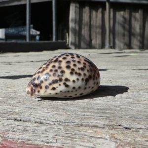 Seashell – Cowrie Small