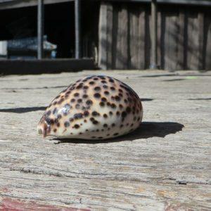 Seashell – Cowrie Small
