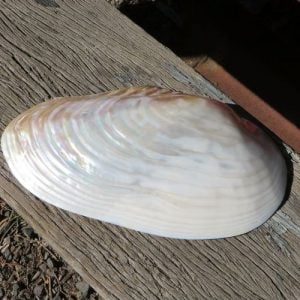 Seashell – River Shell