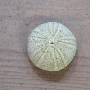 Sea Urchin – Green
