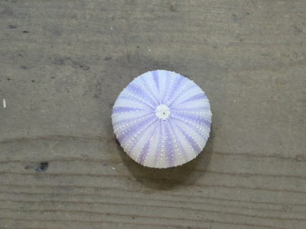 Sea Urchin - Purple Small