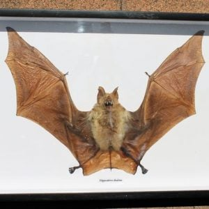 Bat – Framed (Hippiosideros Diadema)