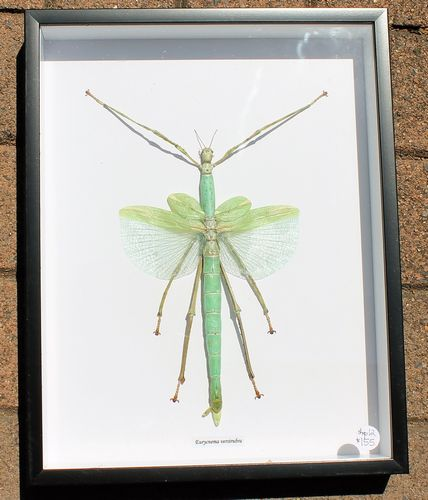 morpeth antique centre hunter valley shop 12 bits and bugs ulysses butterfly bat spider moth scorpion australian framed insect