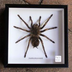 Spider – Framed