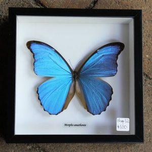 Morpho Amathonte Butterfly – Framed