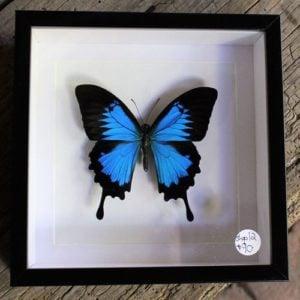 Framed Ulysses Butterfly