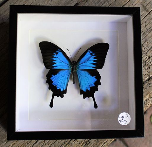 morpeth antique centre hunter valley bits and bugs ulysses butterfly framed papilio blue australian native