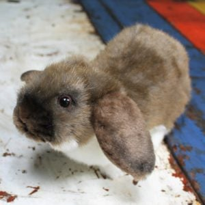 Brown Lop Eared Rabbit by Hansa