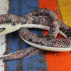 Brown Snake Baby by Hansa